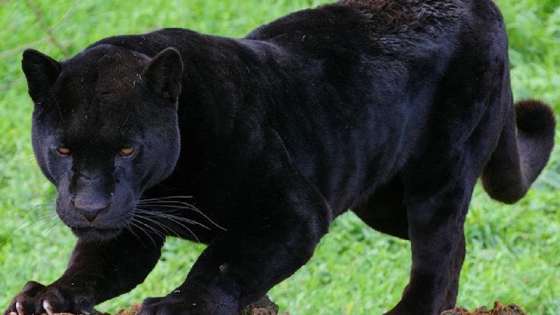 До чого сниться пантера чорна або іншого кольору) — тлумачення з різних сонникам
