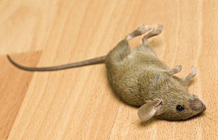 До чого сняться мертві миші по сонникам Міллера, Ванги, Фрейда, іншим трактатами
